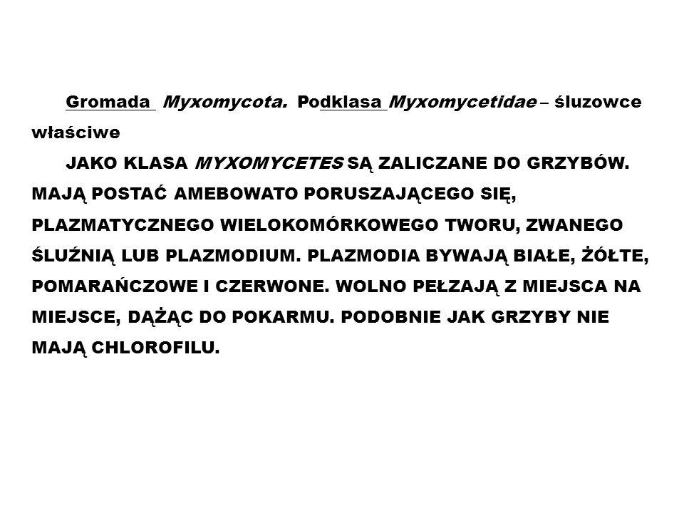 Gromada Myxomycota. Podklasa Myxomycetidae – śluzowce właściwe JAKO KLASA MYXOMYCETES SĄ ZALICZANE DO GRZYBÓW. MAJĄ POSTAĆ AMEBOWATO PORUSZAJĄCEGO SIĘ