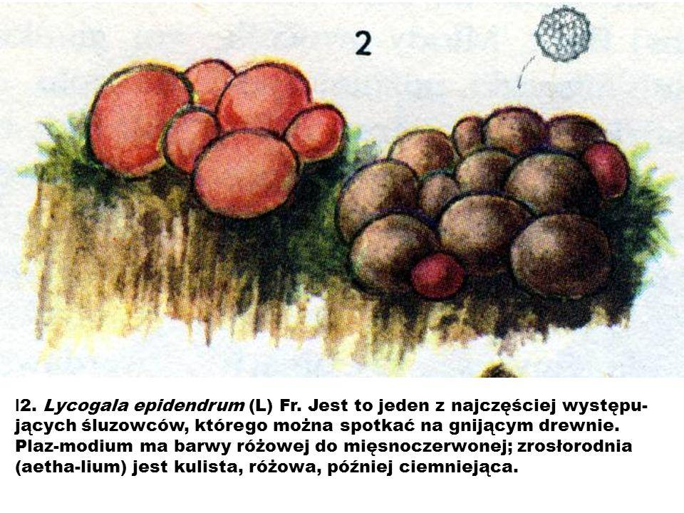 l 2. Lycogala epidendrum (L) Fr. Jest to jeden z najczęściej występu- jących śluzowców, którego można spotkać na gnijącym drewnie. Plaz-modium ma barw