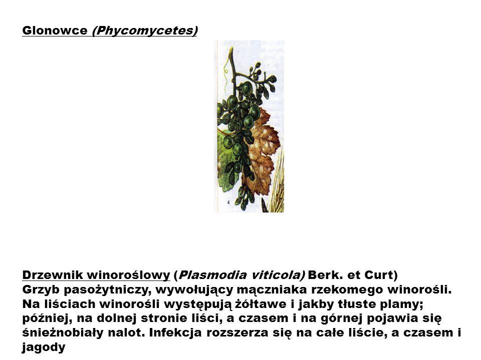 Drzewnik winoroślowy (Plasmodia viticola) Berk. et Curt) Grzyb pasożytniczy, wywołujący mączniaka rzekomego winorośli. Na liściach winorośli występują