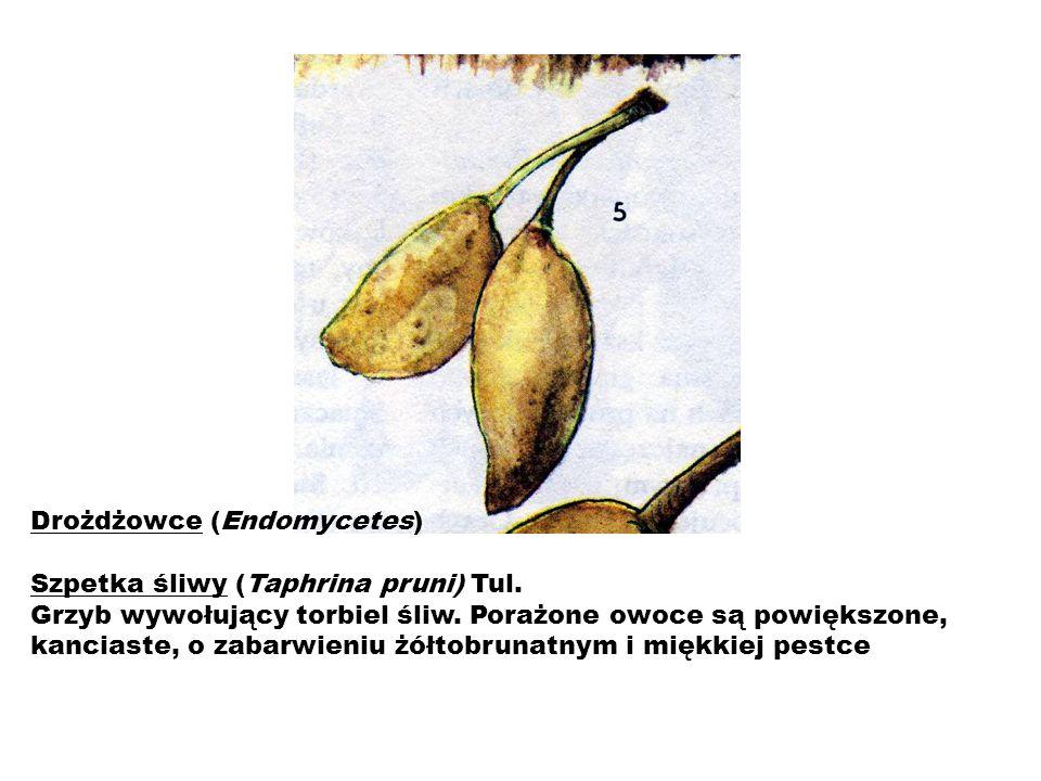 Drożdżowce (Endomycetes) Szpetka śliwy (Taphrina pruni) Tul. Grzyb wywołujący torbiel śliw. Porażone owoce są powiększone, kanciaste, o zabarwieniu żó