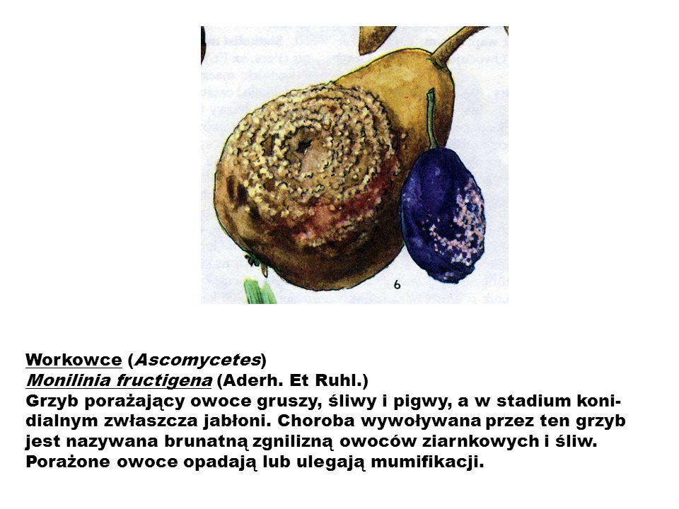 Workowce (Ascomycetes) Monilinia fructigena (Aderh. Et Ruhl.) Grzyb porażający owoce gruszy, śliwy i pigwy, a w stadium koni- dialnym zwłaszcza jabłon