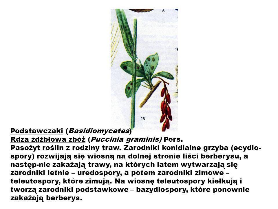 Podstawczaki (Basidiomycetes) Rdza źdźbłowa zbóż (Puccinia graminis) Pers. Pasożyt roślin z rodziny traw. Zarodniki konidialne grzyba (ecydio- spory)