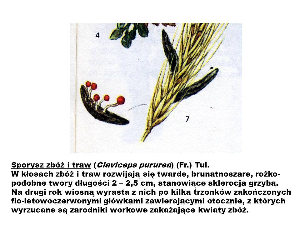 Sporysz zbóż i traw (Claviceps pururea) (Fr.) Tul. W kłosach zbóż i traw rozwijają się twarde, brunatnoszare, rożko- podobne twory długości 2 – 2,5 cm