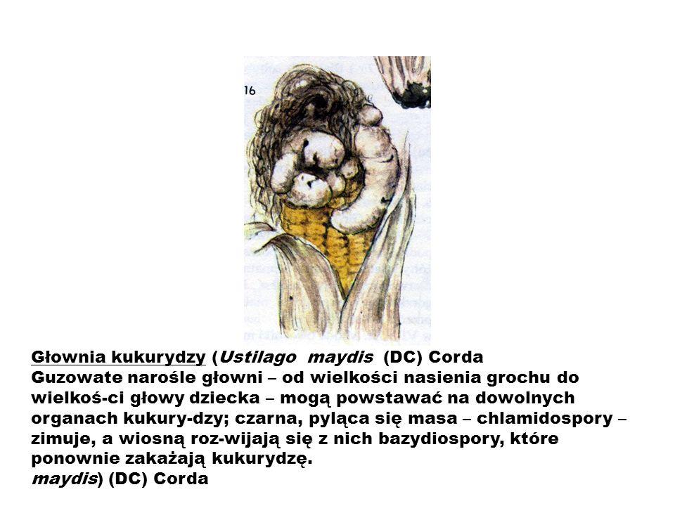 Głownia kukurydzy (Ustilago maydis (DC) Corda Guzowate narośle głowni – od wielkości nasienia grochu do wielkoś-ci głowy dziecka – mogą powstawać na d