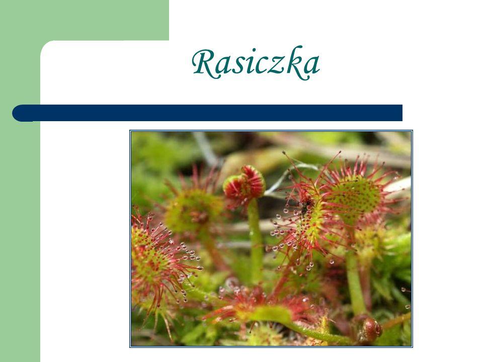 Rasiczka