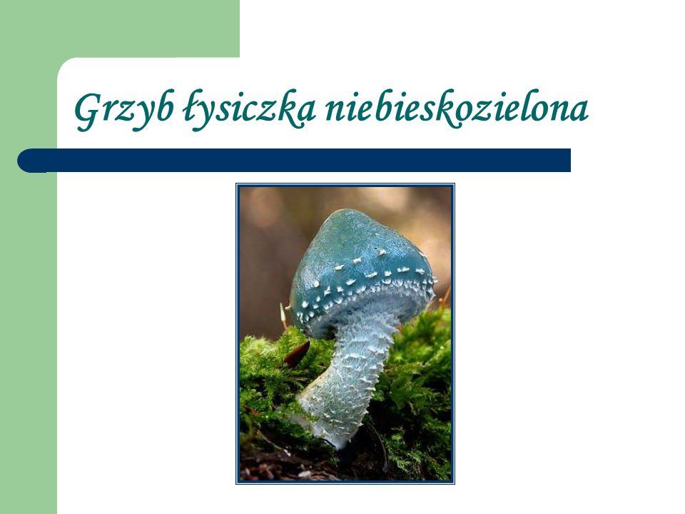Grzyb łysiczka niebieskozielona