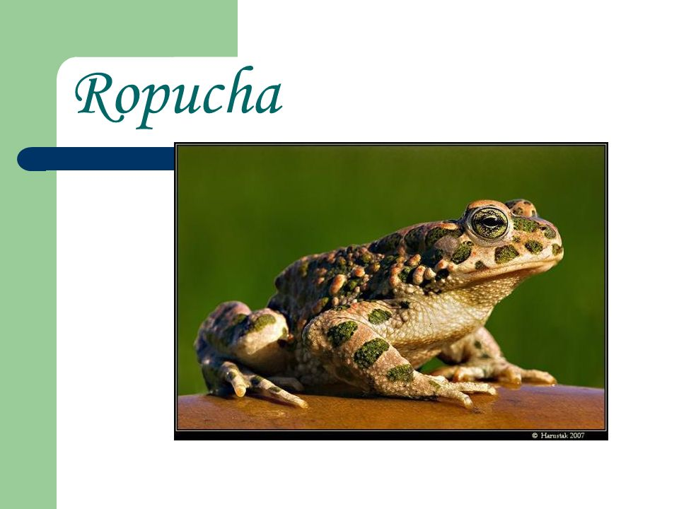 Ropucha