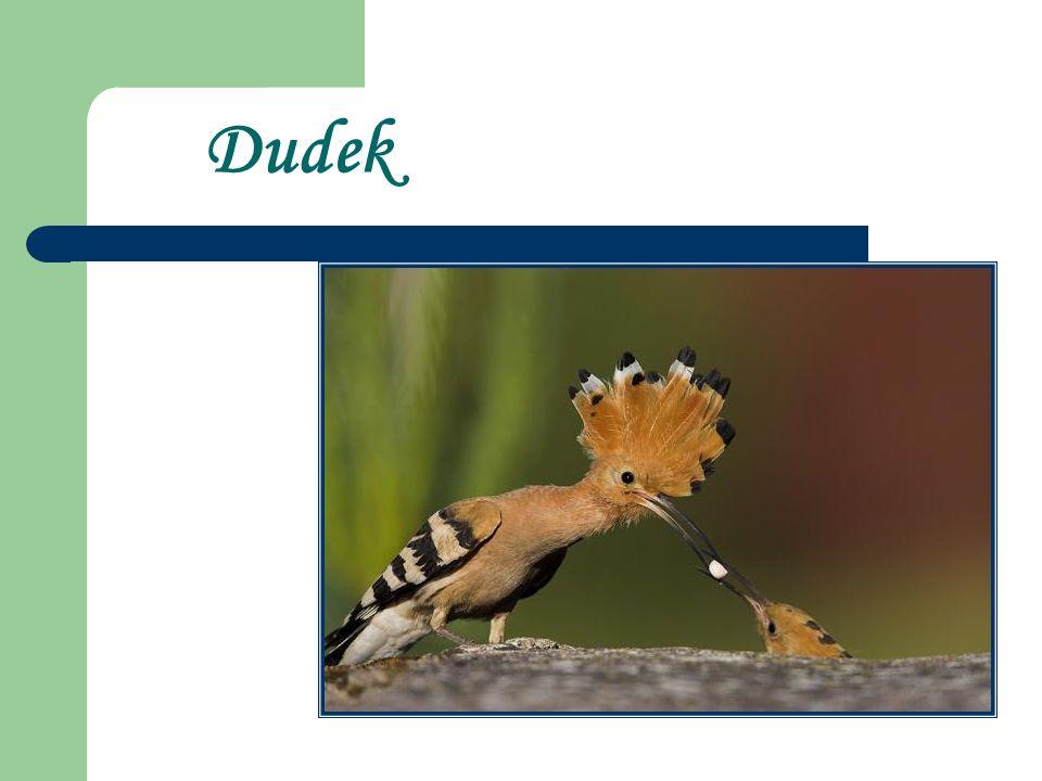 Dudek