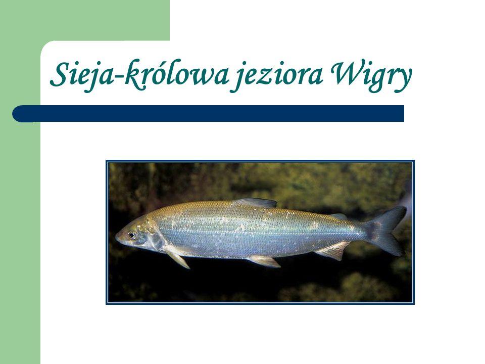 Sieja-królowa jeziora Wigry
