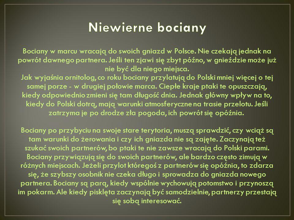 Bociany w marcu wracają do swoich gniazd w Polsce. Nie czekają jednak na powrót dawnego partnera. Jeśli ten zjawi się zbyt późno, w gnieździe może już
