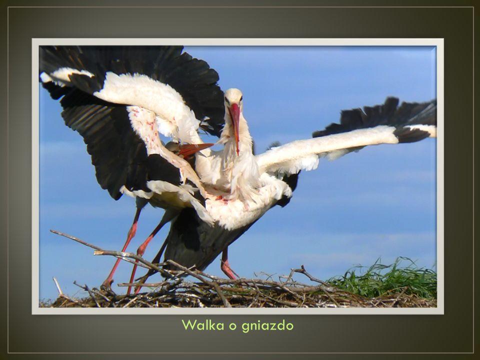 Lecąc, ptaki lądowe potrafią pokonywać dystanse ok.