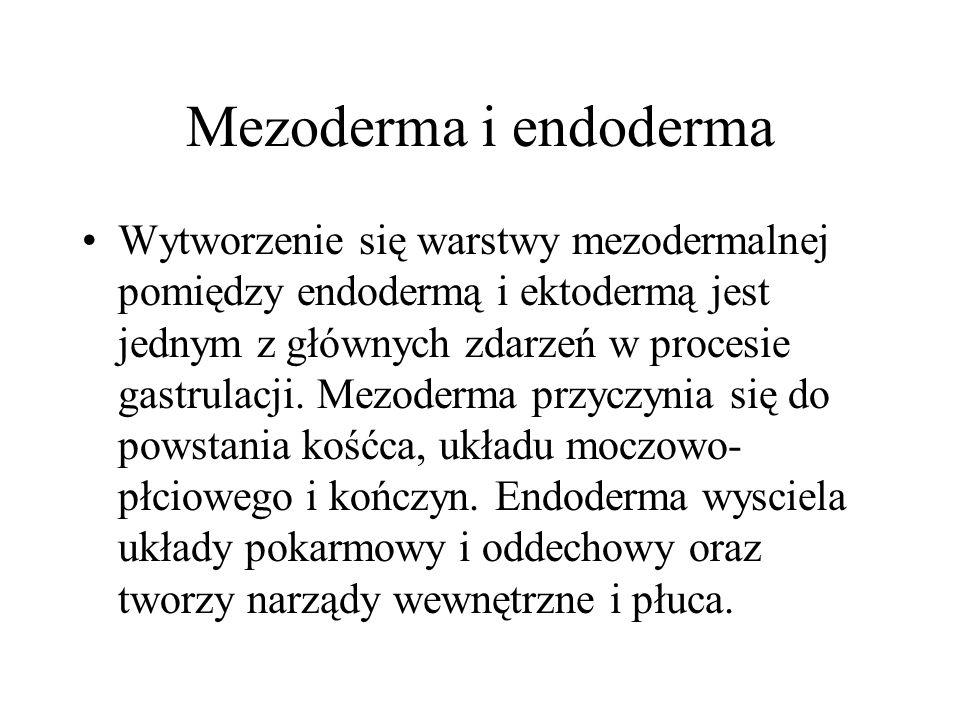 Mezoderma i endoderma Wytworzenie się warstwy mezodermalnej pomiędzy endodermą i ektodermą jest jednym z głównych zdarzeń w procesie gastrulacji. Mezo