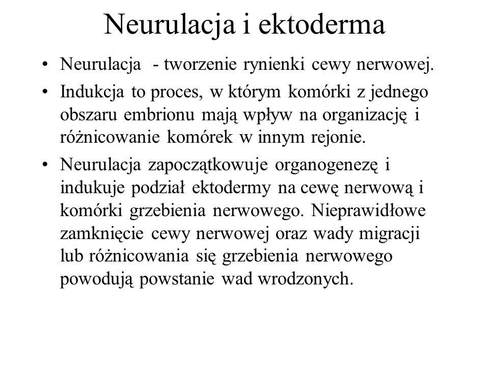 Neurulacja i ektoderma Neurulacja - tworzenie rynienki cewy nerwowej. Indukcja to proces, w którym komórki z jednego obszaru embrionu mają wpływ na or