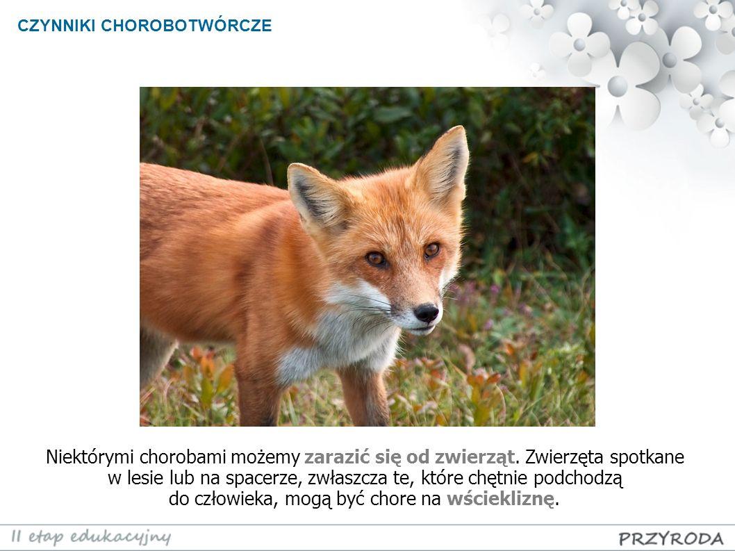 CZYNNIKI CHOROBOTWÓRCZE Niektórymi chorobami możemy zarazić się od zwierząt. Zwierzęta spotkane w lesie lub na spacerze, zwłaszcza te, które chętnie p