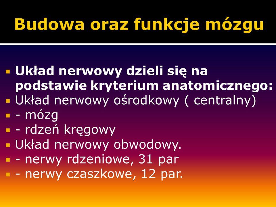 Układ nerwowy dzieli się na podstawie kryterium anatomicznego: Układ nerwowy ośrodkowy ( centralny) - mózg - rdzeń kręgowy Układ nerwowy obwodowy. - n