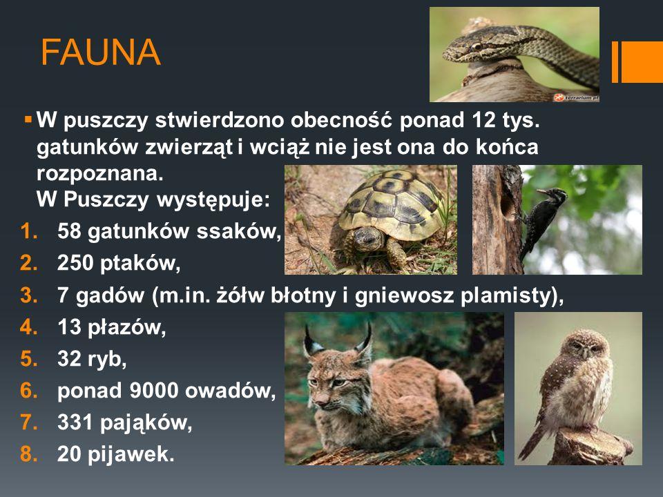 FAUNA W puszczy stwierdzono obecność ponad 12 tys. gatunków zwierząt i wciąż nie jest ona do końca rozpoznana. W Puszczy występuje: 1.58 gatunków ssak