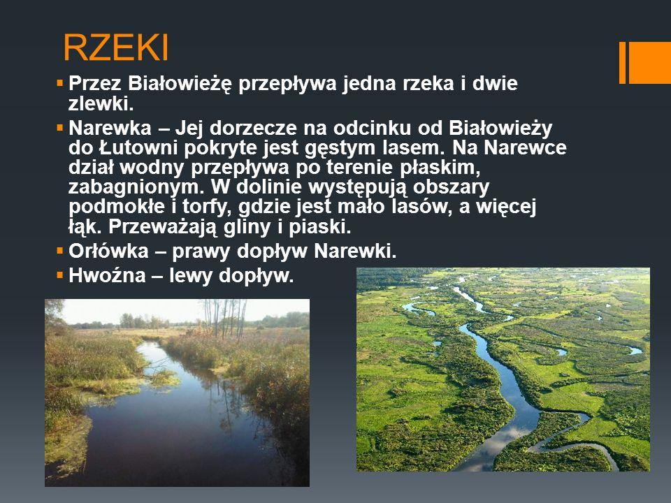 RZEKI Przez Białowieżę przepływa jedna rzeka i dwie zlewki. Narewka – Jej dorzecze na odcinku od Białowieży do Łutowni pokryte jest gęstym lasem. Na N