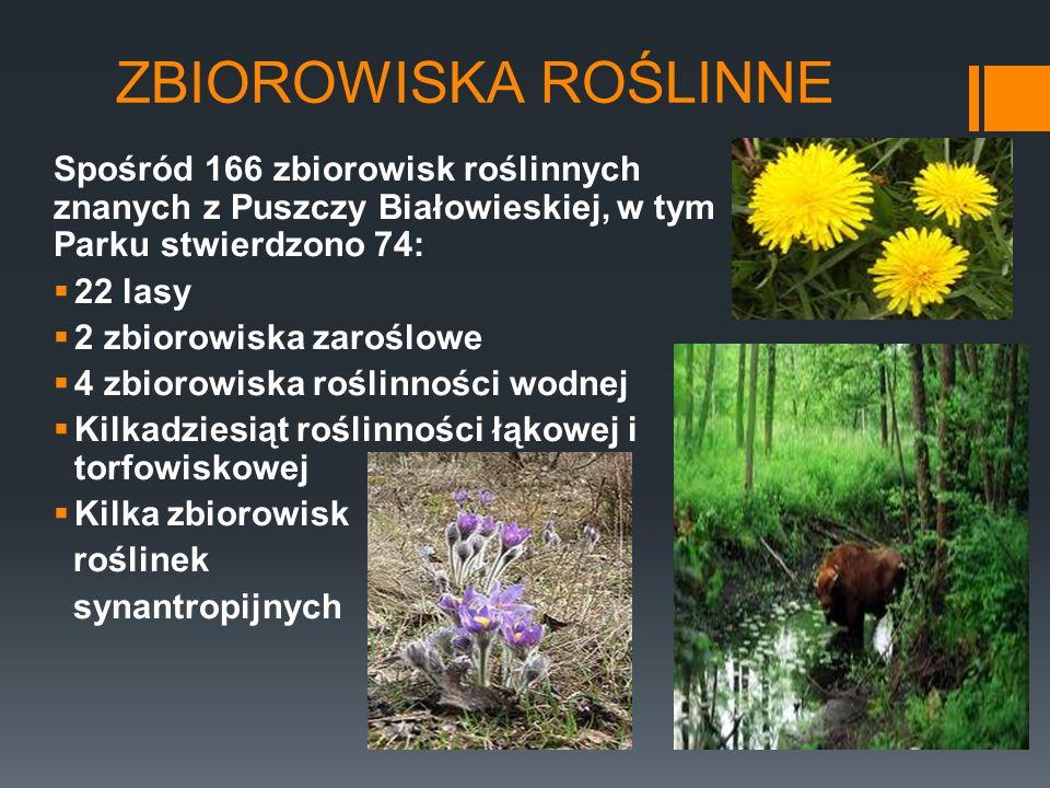 ZBIOROWISKA ROŚLINNE Spośród 166 zbiorowisk roślinnych znanych z Puszczy Białowieskiej, w tym Parku stwierdzono 74: 22 lasy 2 zbiorowiska zaroślowe 4