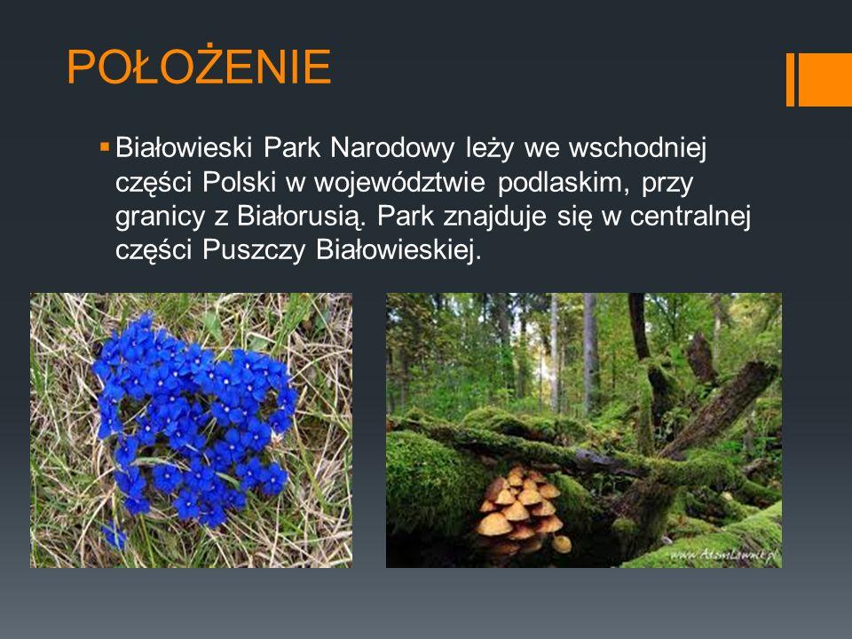 POŁOŻENIE Białowieski Park Narodowy leży we wschodniej części Polski w województwie podlaskim, przy granicy z Białorusią. Park znajduje się w centraln