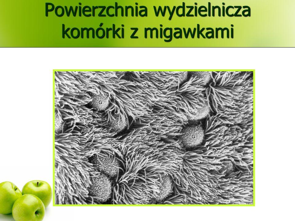 Powierzchnia wydzielnicza komórki z migawkami