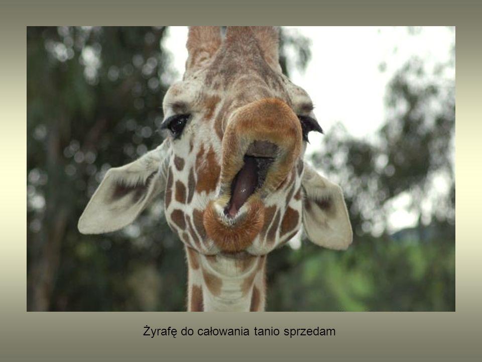 Żyrafę do całowania tanio sprzedam