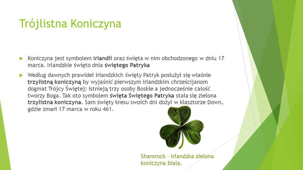 Trójlistna Koniczyna Koniczyna jest symbolem Irlandii oraz święta w nim obchodzonego w dniu 17 marca. Irlandzkie święto dnia świętego Patryka Według d