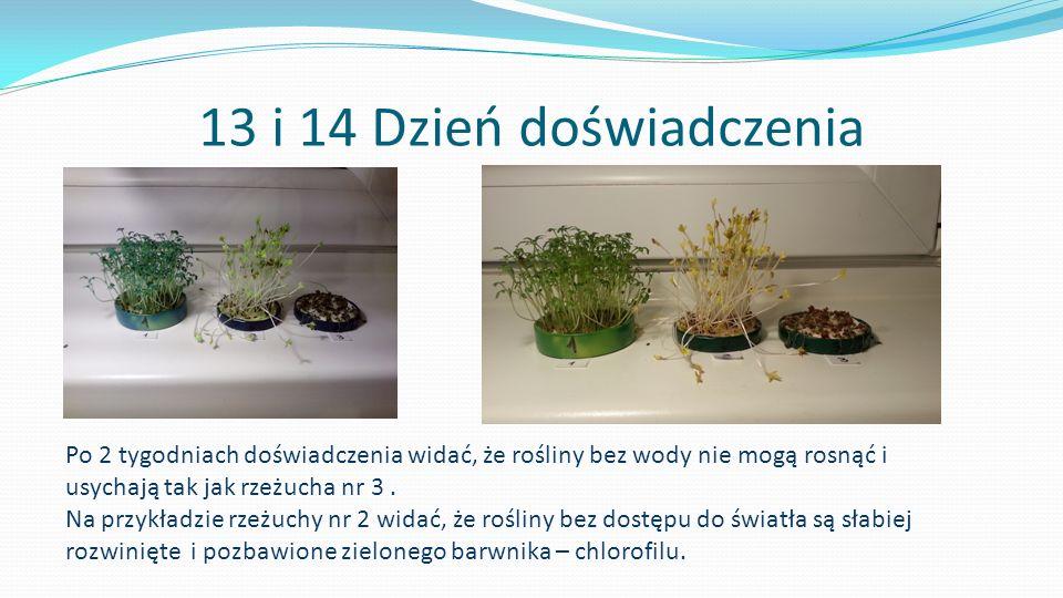 13 i 14 Dzień doświadczenia Po 2 tygodniach doświadczenia widać, że rośliny bez wody nie mogą rosnąć i usychają tak jak rzeżucha nr 3. Na przykładzie