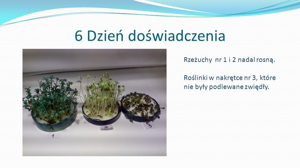 6 Dzień doświadczenia Rzeżuchy nr 1 i 2 nadal rosną. Roślinki w nakrętce nr 3, które nie były podlewane zwiędły.
