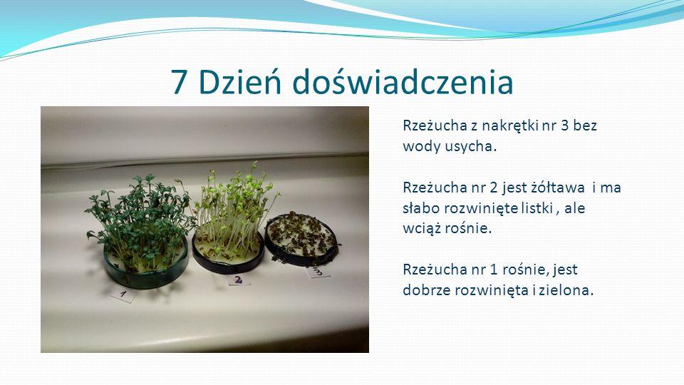 7 Dzień doświadczenia Rzeżucha z nakrętki nr 3 bez wody usycha. Rzeżucha nr 2 jest żółtawa i ma słabo rozwinięte listki, ale wciąż rośnie. Rzeżucha nr