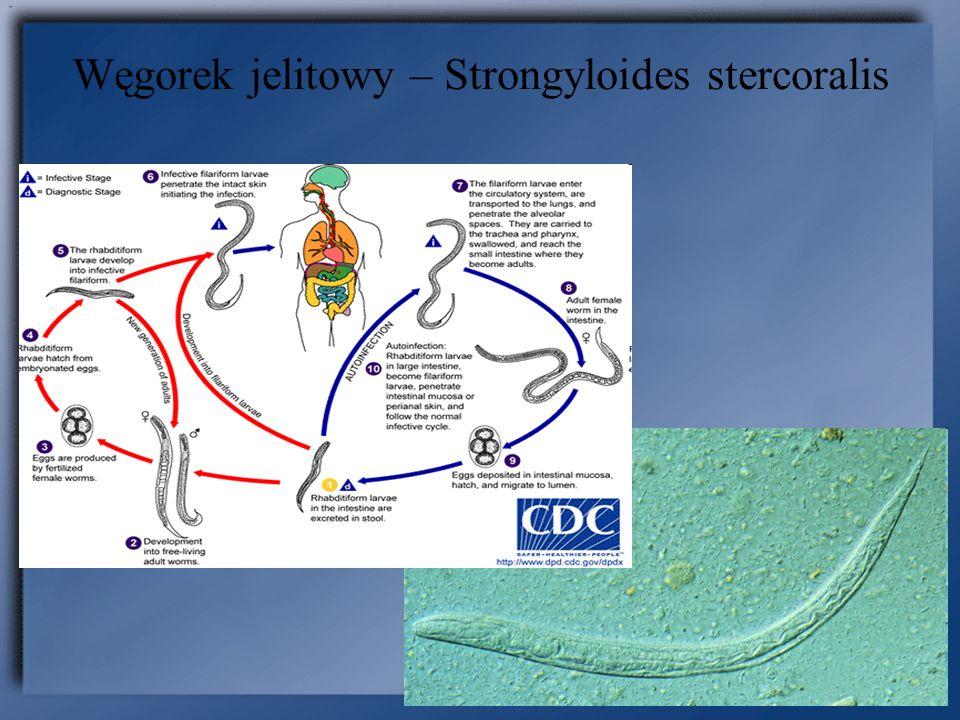 Postać rozsiana u osób z immunosupresją: nasilona autoinwazja wewnętrzna (jelitowa) lub zewnętrzna (skóra okolicy odbytu).