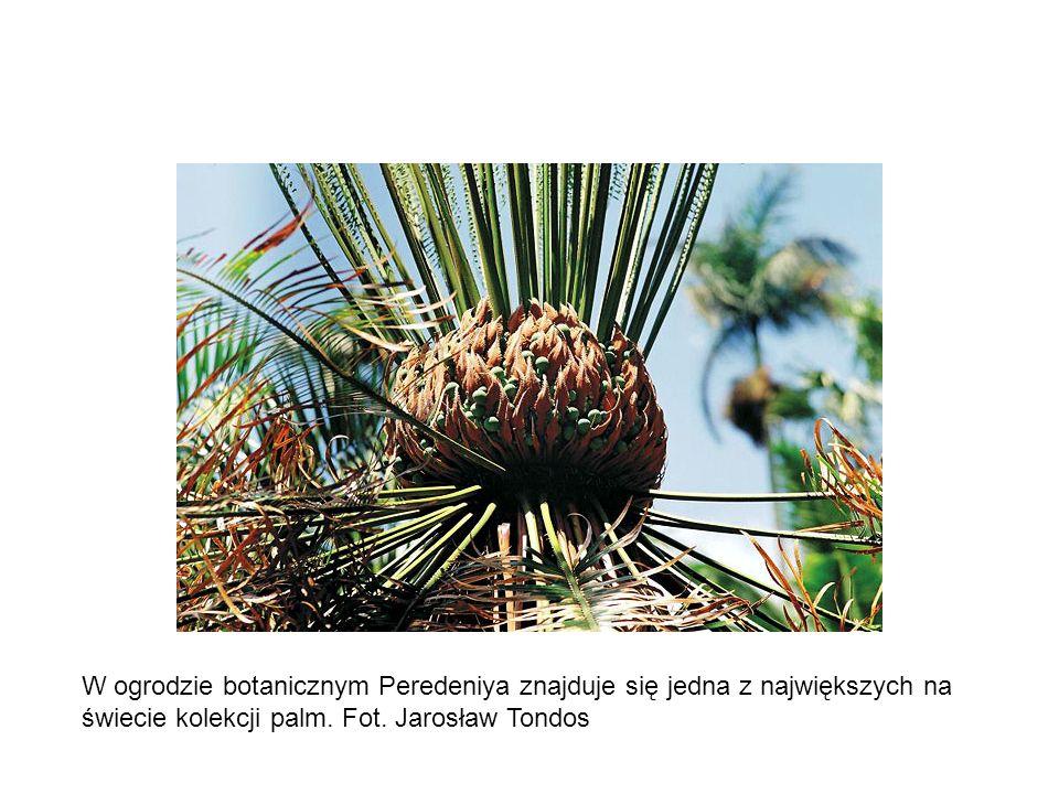 W ogrodzie botanicznym Peredeniya znajduje się jedna z największych na świecie kolekcji palm.