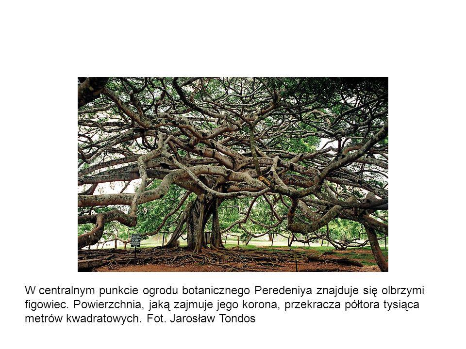 W centralnym punkcie ogrodu botanicznego Peredeniya znajduje się olbrzymi figowiec.