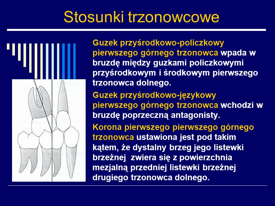 Stosunki trzonowcowe Guzek przyśrodkowo-policzkowy pierwszego górnego trzonowca wpada w bruzdę między guzkami policzkowymi przyśrodkowym i środkowym p