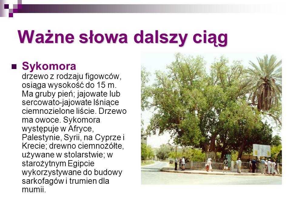 Ważne słowa dalszy ciąg Sykomora drzewo z rodzaju figowców, osiąga wysokość do 15 m. Ma gruby pień; jajowate lub sercowato-jajowate lśniące ciemnoziel