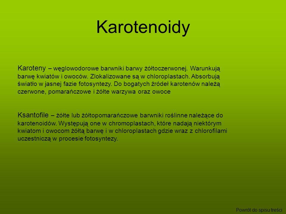 Otrzymywanie barwników - doświadczenie Do otrzymania barwników posłużyła metoda Kraussa Otrzymywanie chlorofiliOtrzymywanie karotenoidówOtrzymywanie chlorofili Metoda ta wykorzystuje fakt, iż chlorofile i karoteny rozpuszczają w benzynie, natomiast ksantofile w alkoholu
