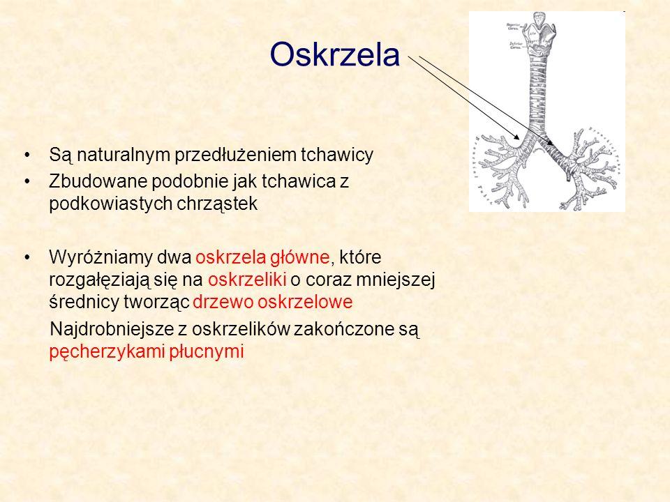 Oskrzela Są naturalnym przedłużeniem tchawicy Zbudowane podobnie jak tchawica z podkowiastych chrząstek Wyróżniamy dwa oskrzela główne, które rozgałęz