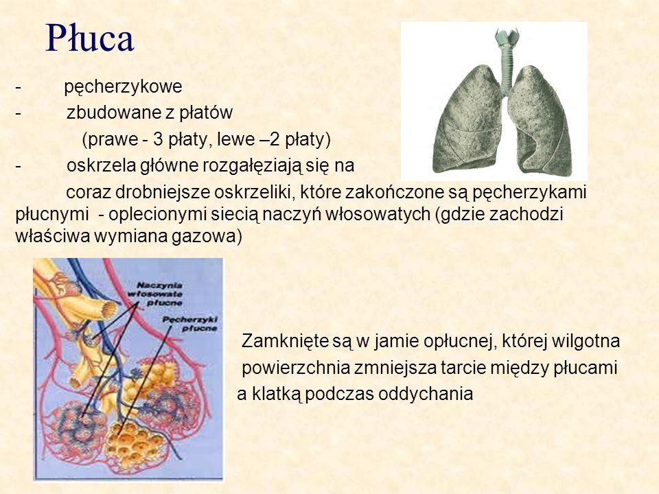 Płuca - pęcherzykowe - zbudowane z płatów (prawe - 3 płaty, lewe –2 płaty) - oskrzela główne rozgałęziają się na coraz drobniejsze oskrzeliki, które z