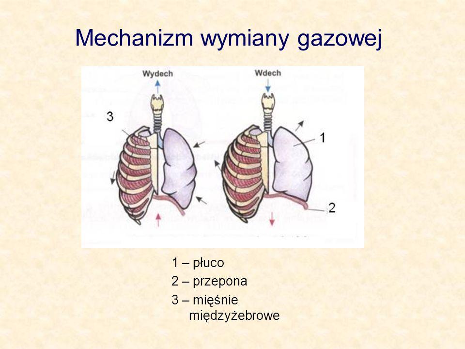 Mechanizm wymiany gazowej 1 – płuco 2 – przepona 3 – mięśnie międzyżebrowe