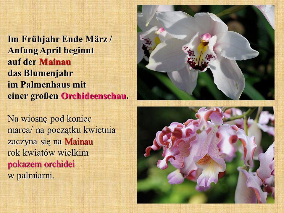 Im Frühjahr Ende März / Anfang April beginnt auf der Mainau das Blumenjahr im Palmenhaus mit einer großen Orchideenschau. Na wiosnę pod koniec marca/