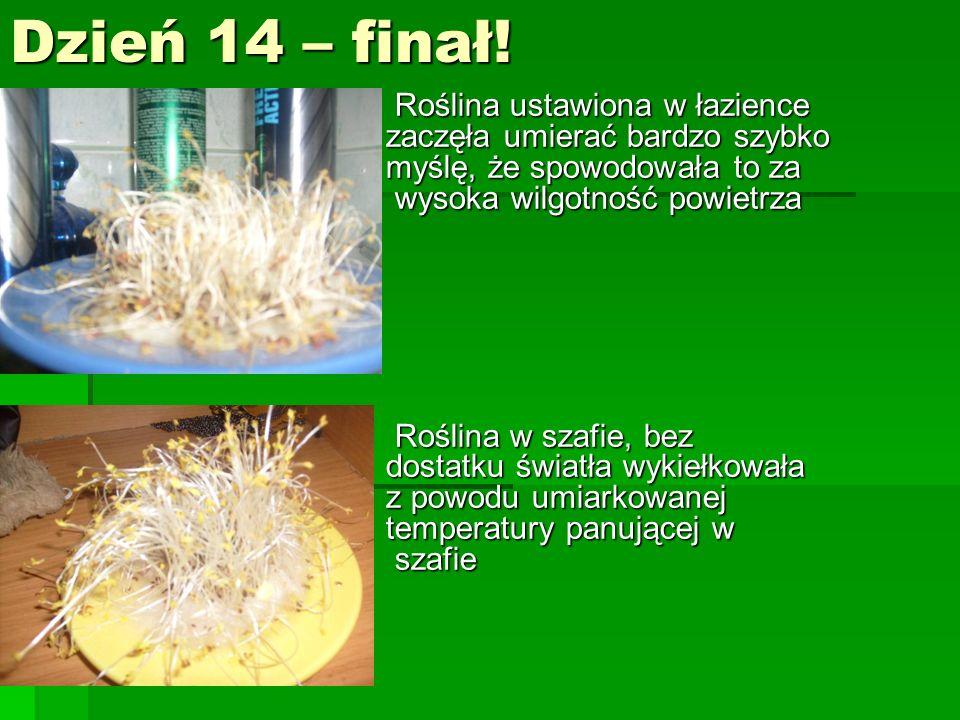 Dzień 14 – finał! Roślina ustawiona w łazience zaczęła umierać bardzo szybko myślę, że spowodowała to za wysoka wilgotność powietrza Roślina ustawiona