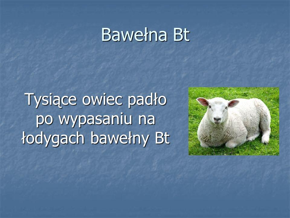 Bawełna Bt Tysiące owiec padło po wypasaniu na łodygach bawełny Bt