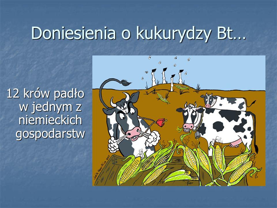 Doniesienia o kukurydzy Bt… 12 krów padło w jednym z niemieckich gospodarstw