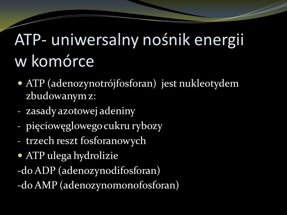 ATP- uniwersalny nośnik energii w komórce ATP (adenozynotrójfosforan) jest nukleotydem zbudowanym z: - zasady azotowej adeniny - pięciowęglowego cukru