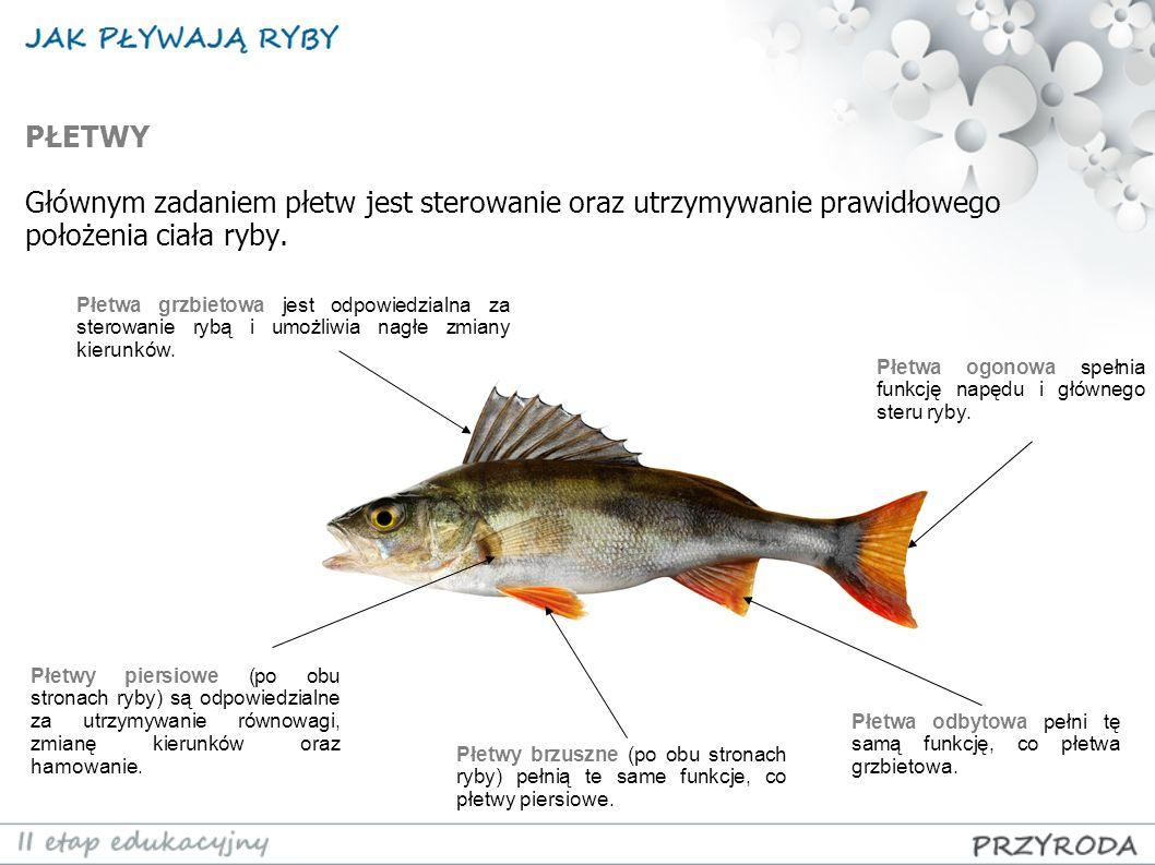 PŁETWY Głównym zadaniem płetw jest sterowanie oraz utrzymywanie prawidłowego położenia ciała ryby. Płetwa grzbietowa jest odpowiedzialna za sterowanie