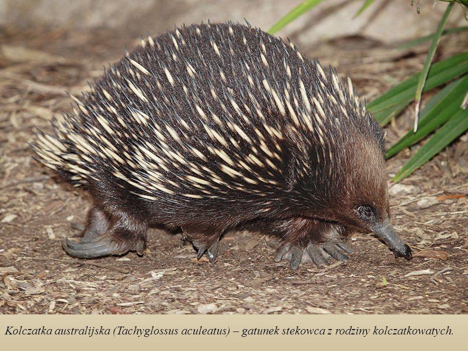 Skalniak szczotkoogonowy (Petrogale penicillata) - torbacz z rodziny kangurowatych.