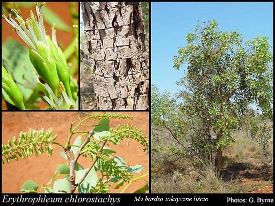 Flora W Kakadu żyje ponad tysiąc gatunków roślin, w większości wykorzystywanych przez Aborygenów do celów spożywczych i leczniczych. Brzegi rzek poroś