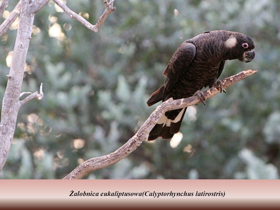 Drzewo eukaliptusowe