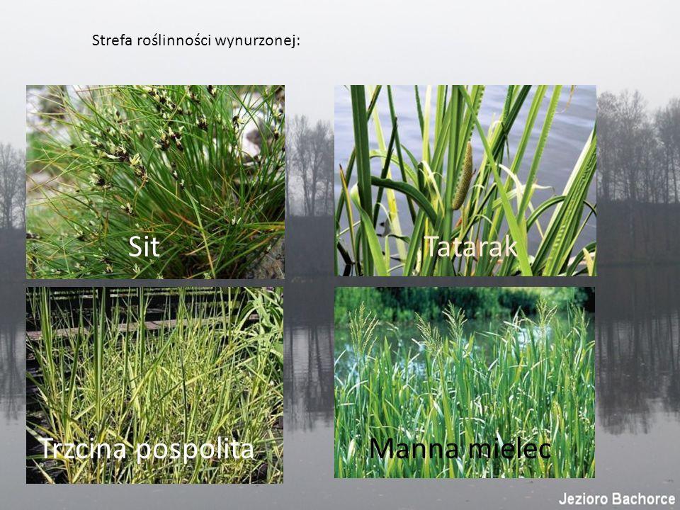 Strefa roślinności wynurzonej: Sit Tatarak Trzcina pospolitaManna mielec