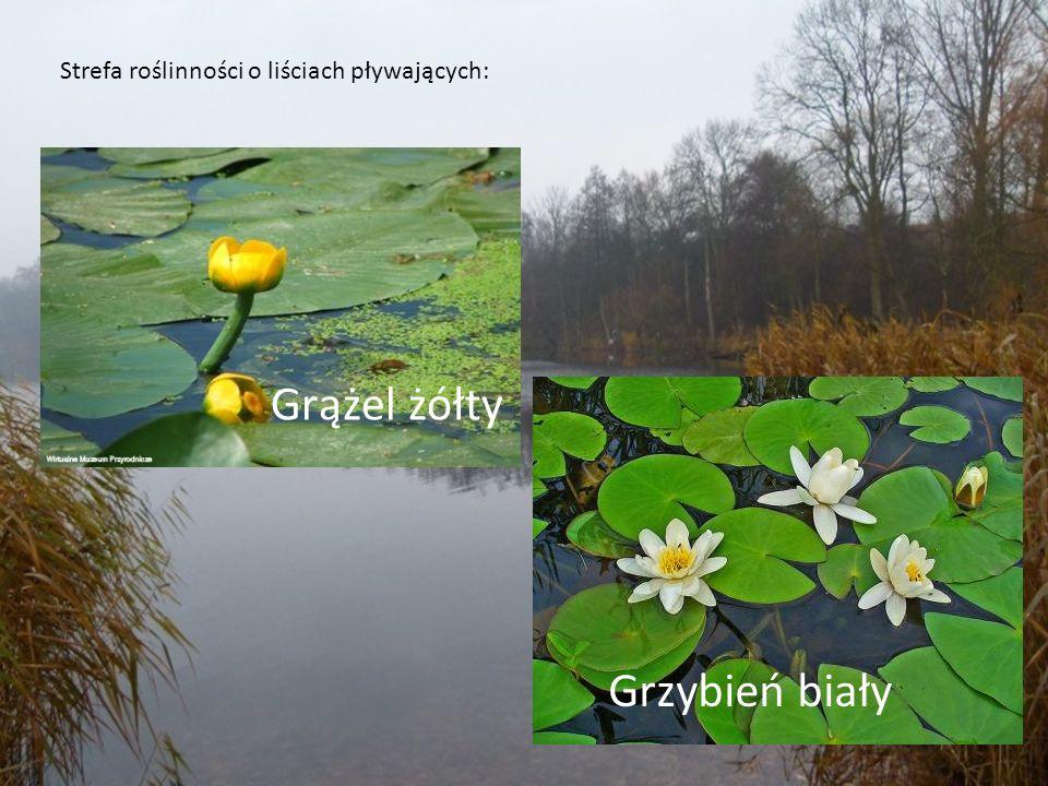 Strefa roślinności o liściach pływających: Grążel żółty Grzybień biały