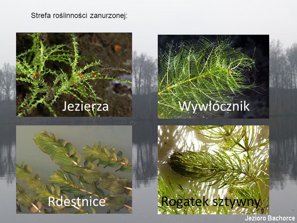Strefa roślinności zanurzonej: Jezierza Wywłócznik RdestniceRogatek sztywny